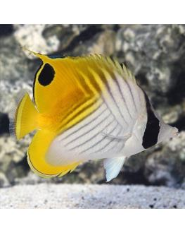 Auriga Butterfly fish